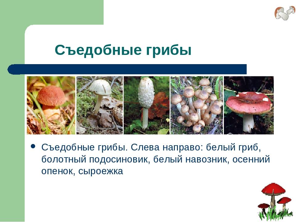 Съедобные грибы Съедобные грибы. Слева направо: белый гриб, болотный подосин...