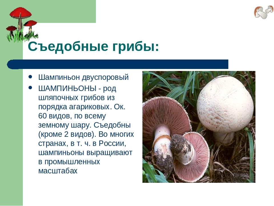 грибы шампиньоны картинки с описанием вот
