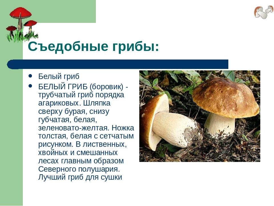 Съедобные грибы: Белый гриб БЕЛЫЙ ГРИБ (боровик) - трубчатый гриб порядка ага...