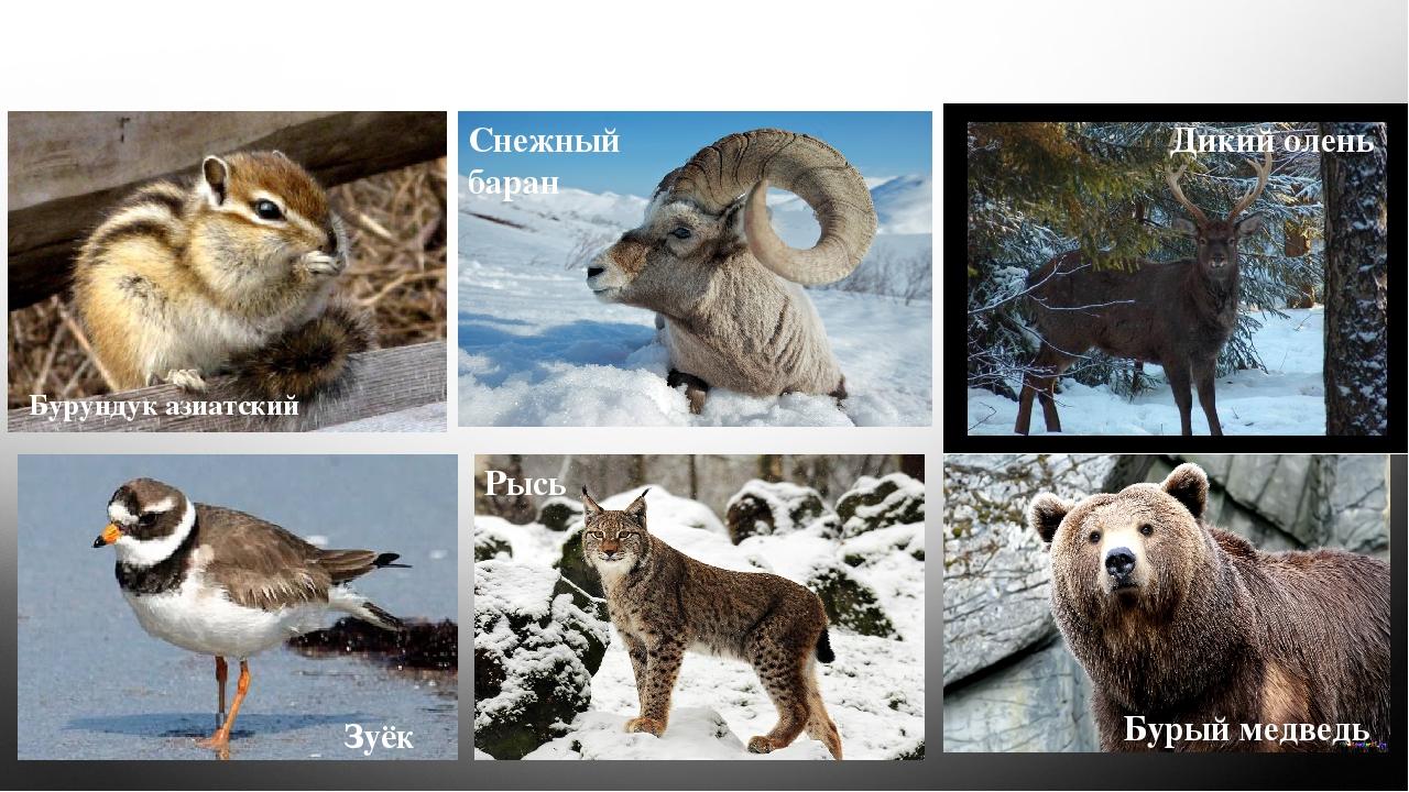 Фауна Бурундук азиатский Снежный баран Дикий олень Зуёк Рысь Бурый медведь