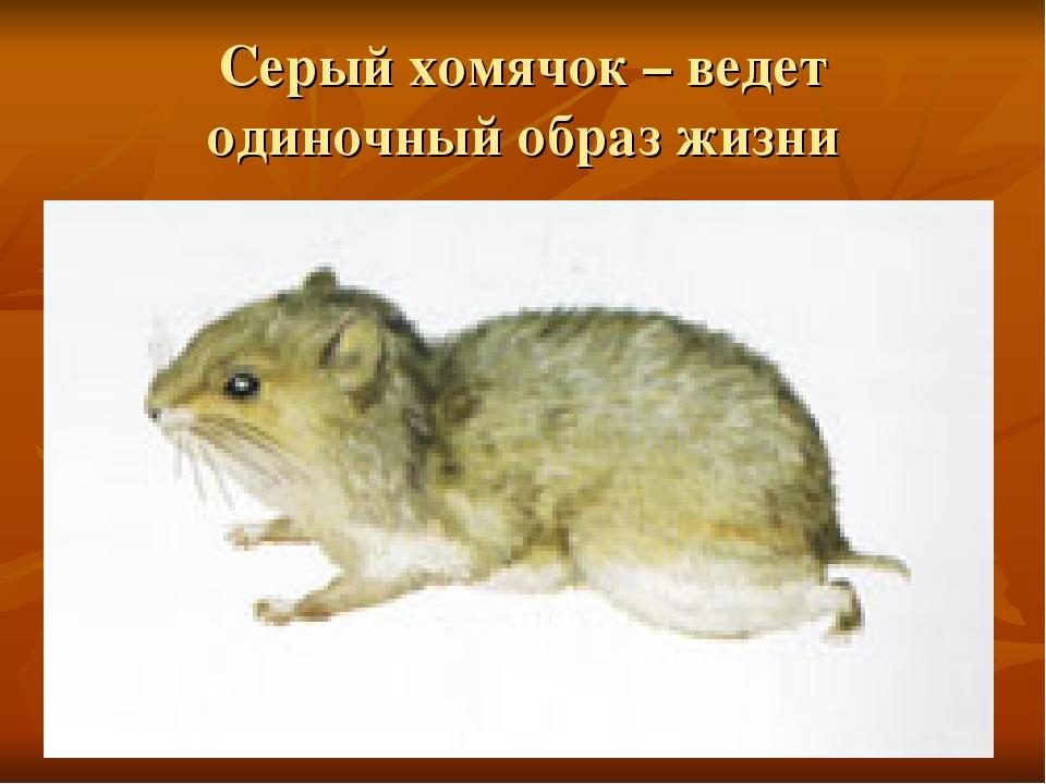 Картинка серого хомячка из красной книги