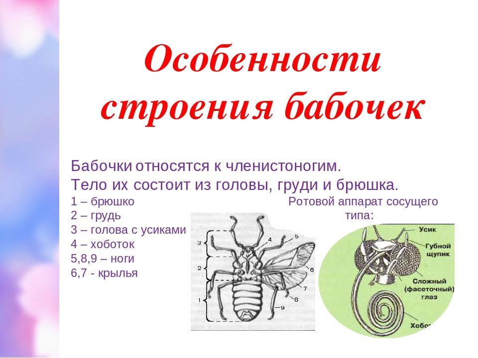 Особенности строения бабочек Бабочки относятся к членистоногим. Тело их состо...