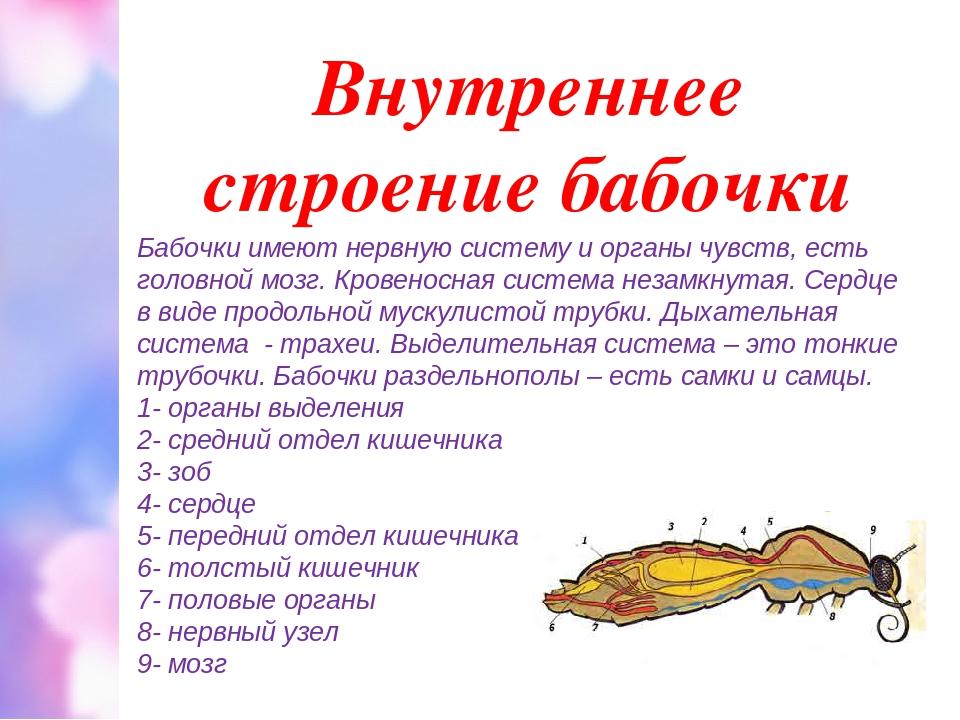 Внутреннее строение бабочки Бабочки имеют нервную систему и органы чувств, ес...