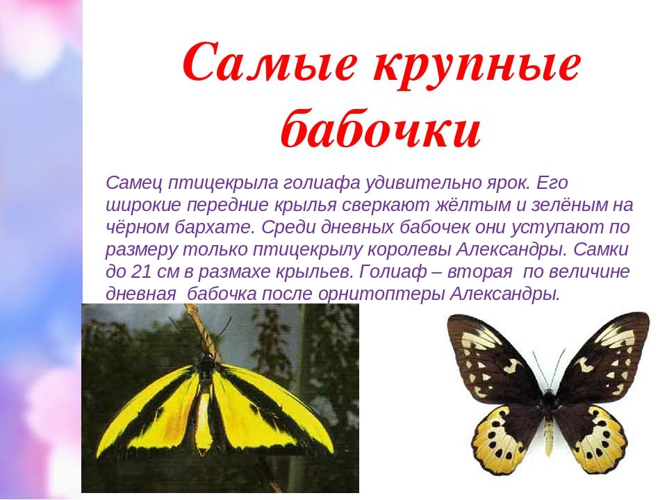 Самые крупные бабочки Самец птицекрыла голиафа удивительно ярок. Его широкие...