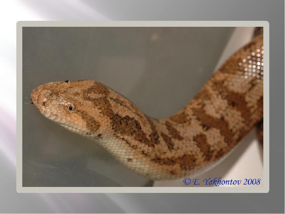 песчанка фото змея достаточном употреблении минералов