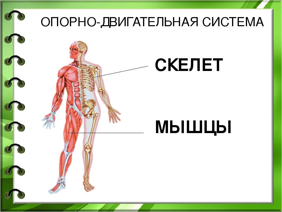 опорно-двигательной системы человека части