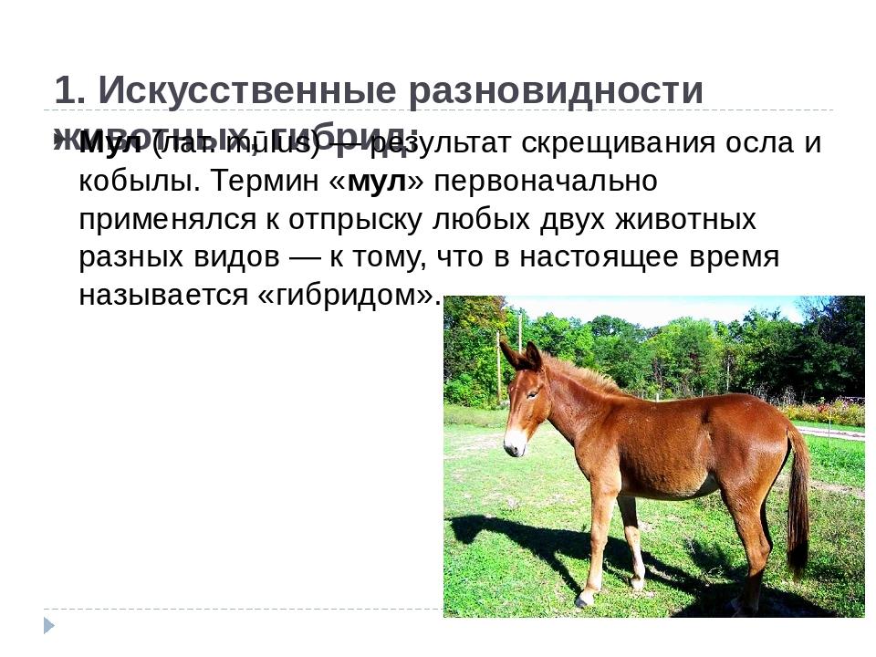 1. Искусственные разновидности животных, гибрид: Мул(лат. mūlus) — результа...