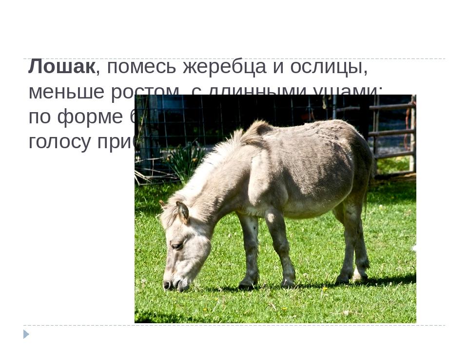 Лошак, помесь жеребца и ослицы, меньше ростом, с длинными ушами; поформе бед...