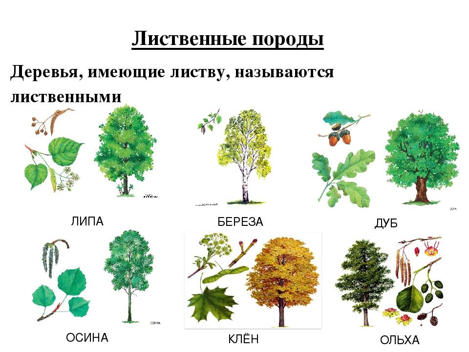 название деревьев с картинками в сибири лавровый лист