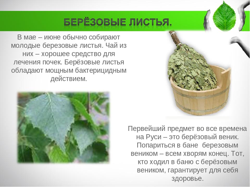 Лечебные свойства листьев березы для похудения