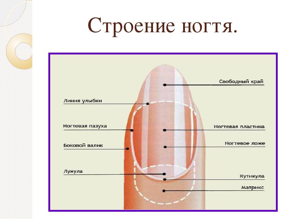 Строение ногтя.