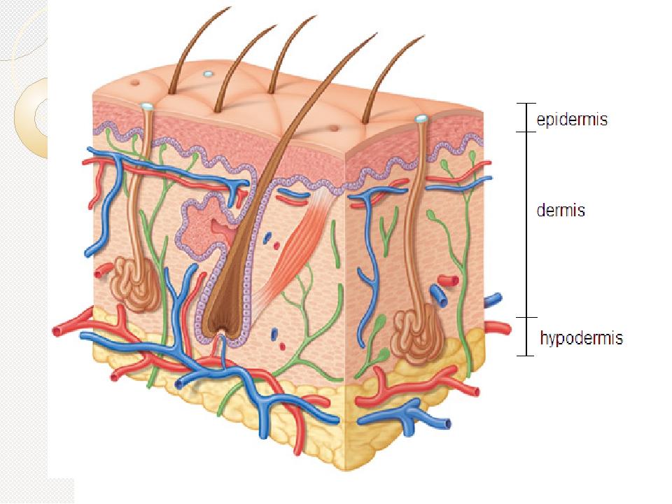 Рисунок кожи под микроскопом.