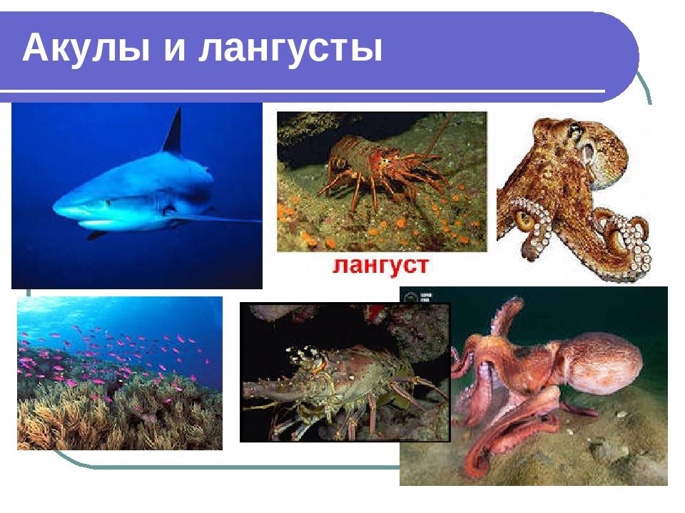 Акулы и лангусты