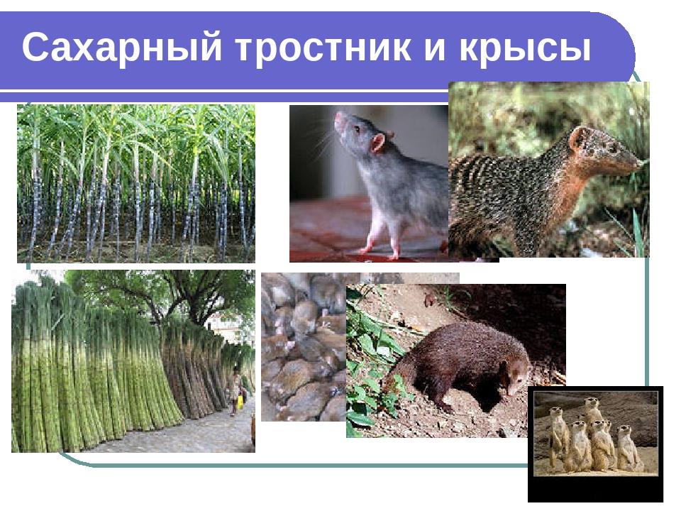 Сахарный тростник и крысы