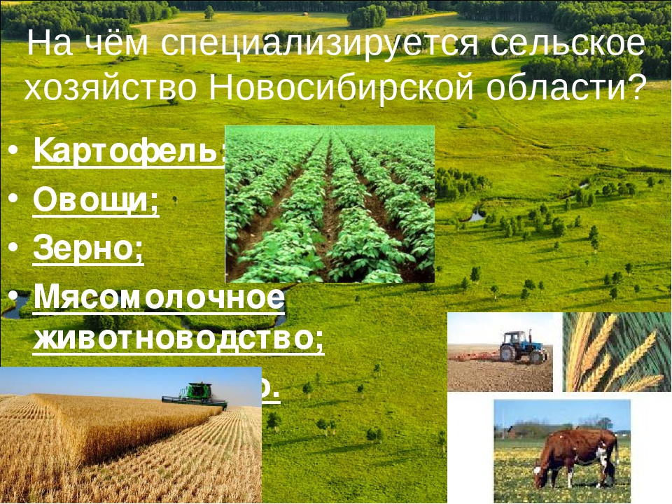 На чём специализируется сельское хозяйство Новосибирской области? Картофель;...