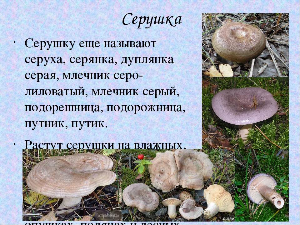 подают грибы серушки фото и описание как готовить как будет