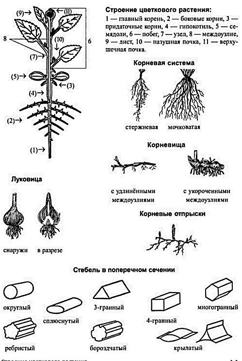 Схема строения цветковых растений