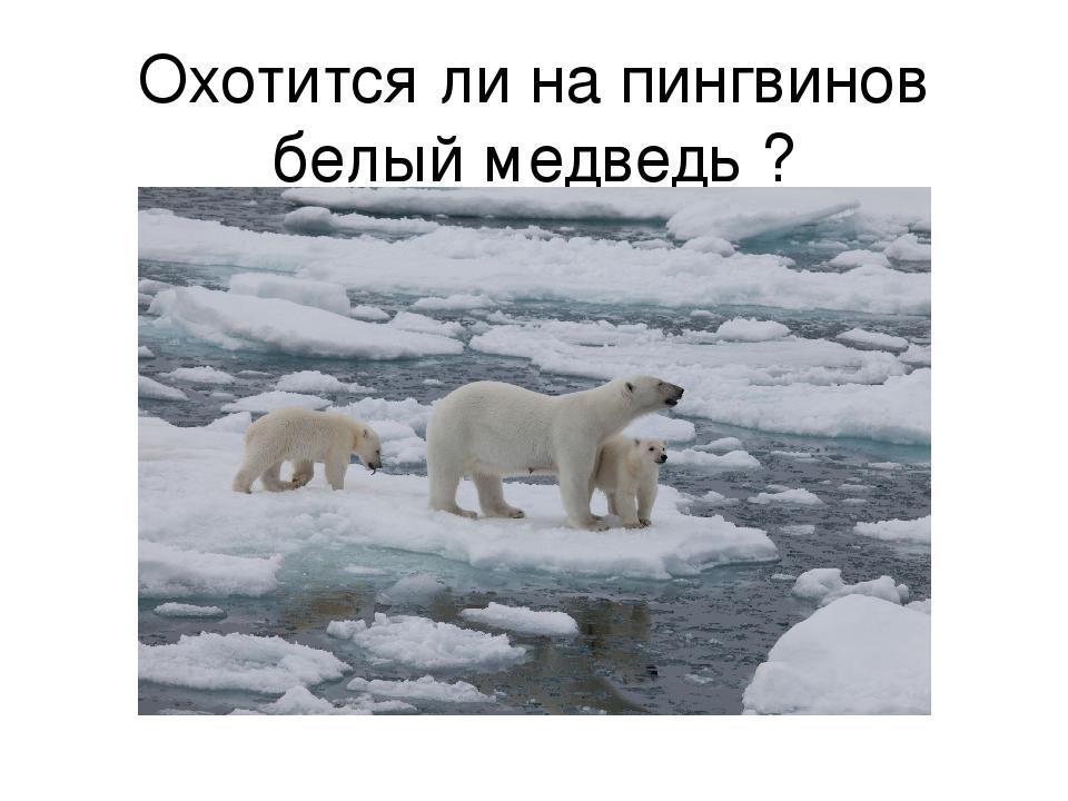 Охотится ли на пингвинов белый медведь ?