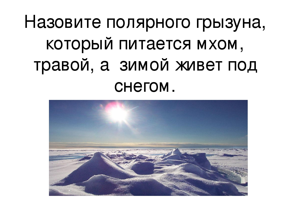 Назовите полярного грызуна, который питается мхом, травой, а зимой живет под...