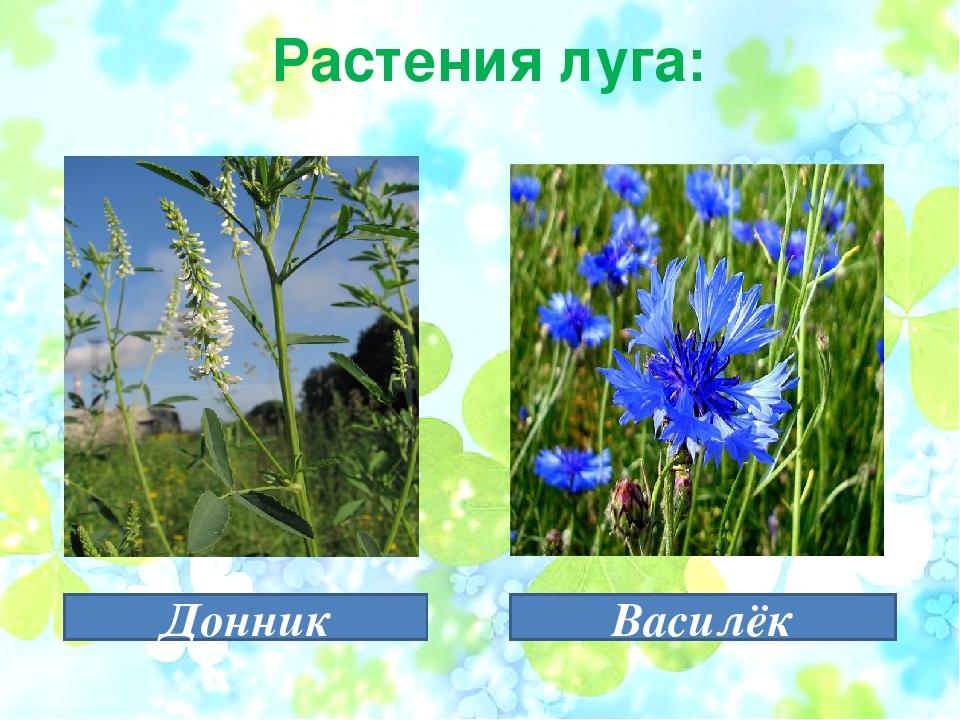 стоимость растения луга с картинками и названиями девушка