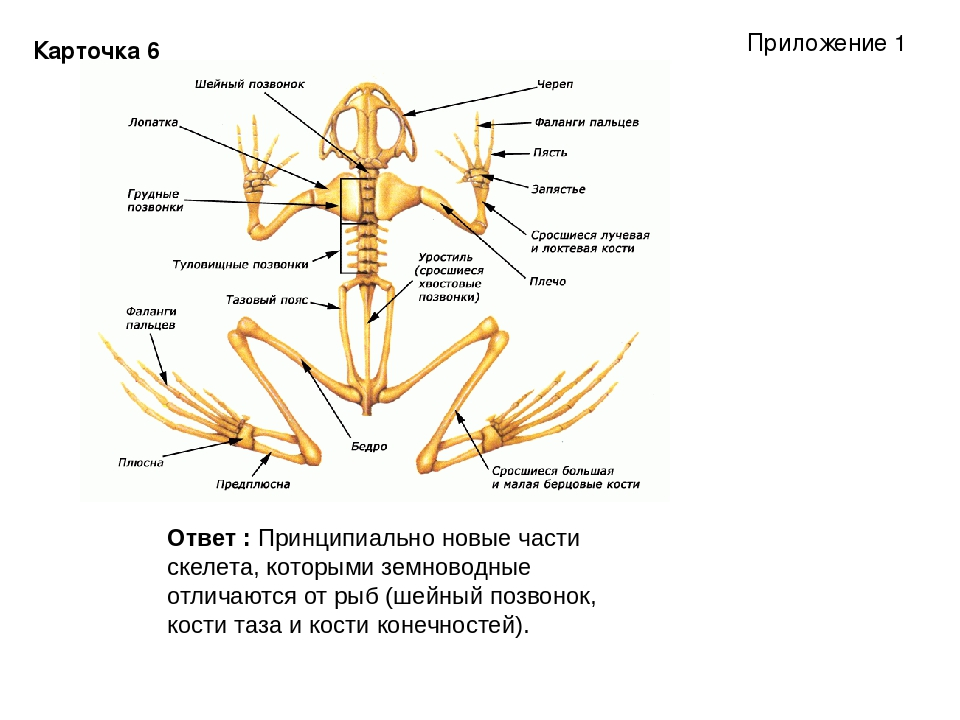 Карточка 6 Ответ : Принципиально новые части скелета, которыми земноводные от...
