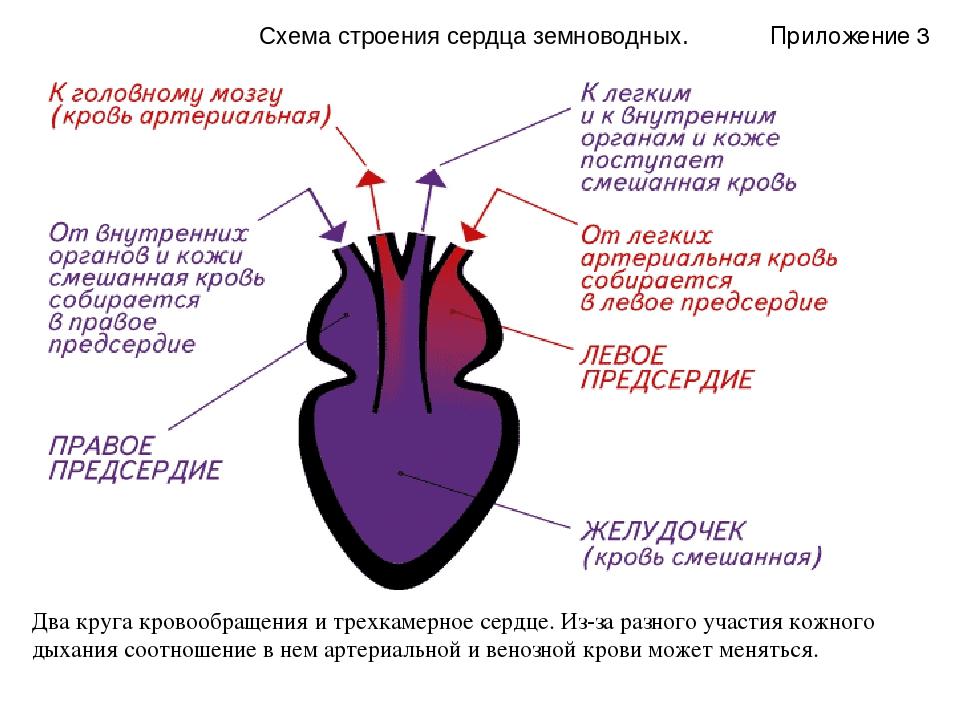 Схема строения сердца земноводных. Два круга кровообращения итрехкамерное се...