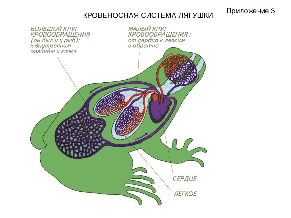 КРОВЕНОСНАЯ СИСТЕМА ЛЯГУШКИ Приложение 3