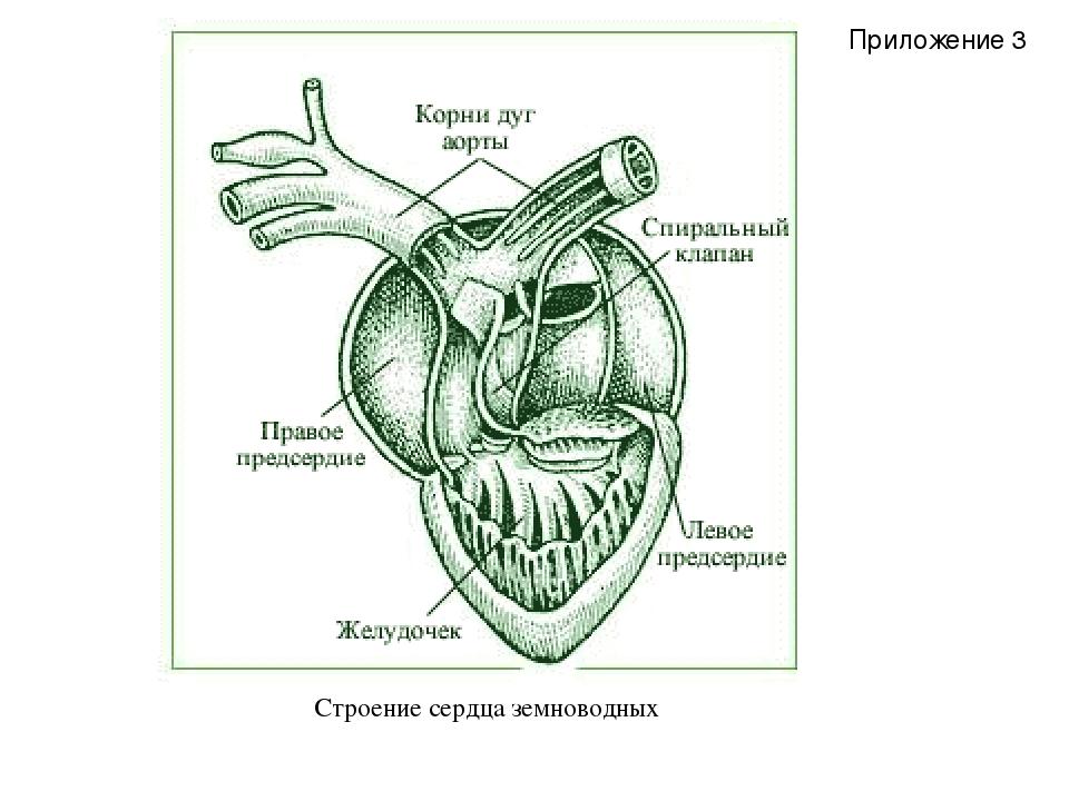 Строение сердца земноводных Приложение 3