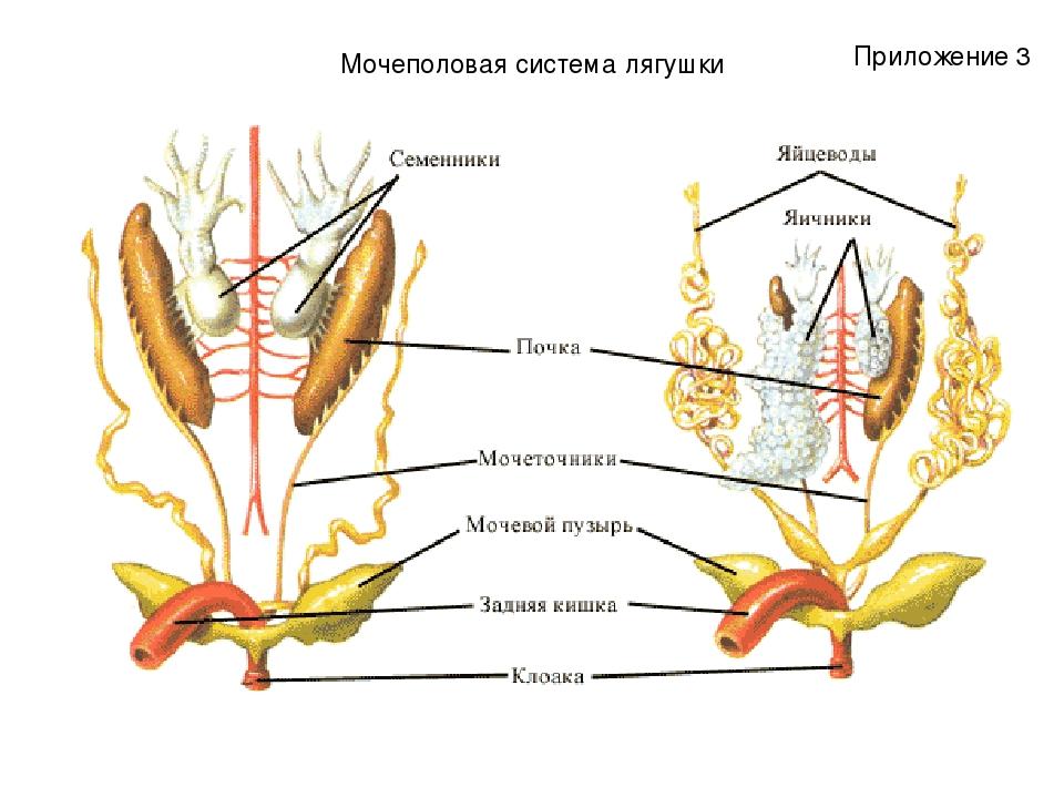 Мочеполовая система лягушки Приложение 3