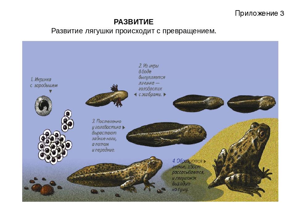РАЗВИТИЕ Развитие лягушки происходит с превращением.  Приложение 3