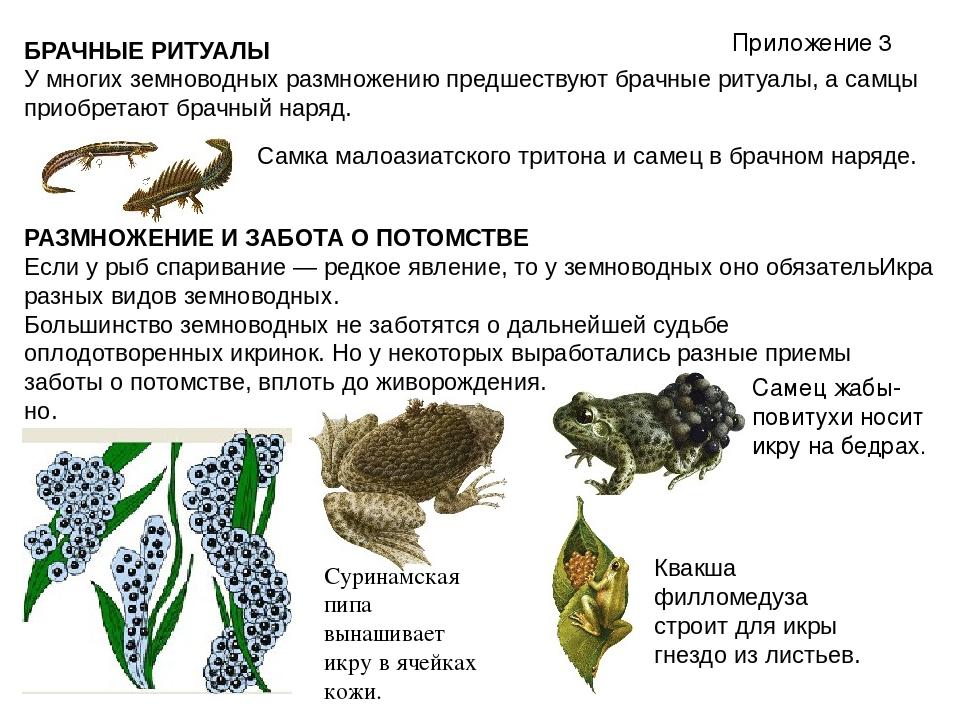 БРАЧНЫЕ РИТУАЛЫ У многих земноводных размножению предшествуют брачные ритуалы...