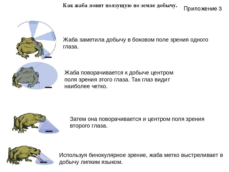Как жаба ловит ползущую по земле добычу. Жаба заметила добычу вбоковом поле...