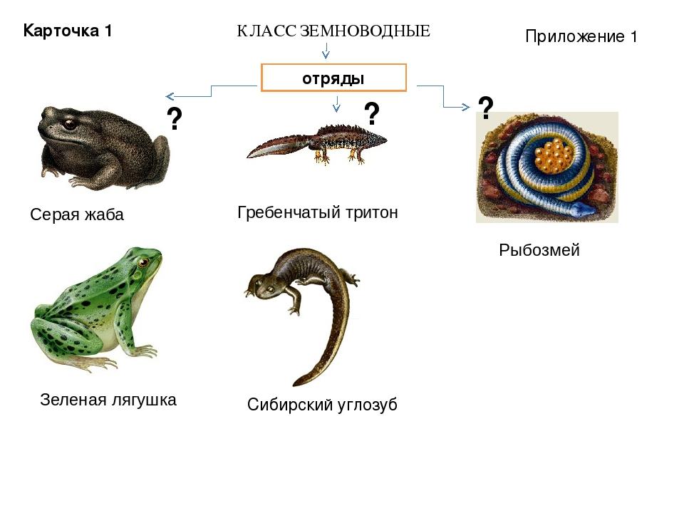 Серая жаба Зеленая лягушка Гребенчатый тритон Сибирский углозуб Рыбозмей КЛАС...