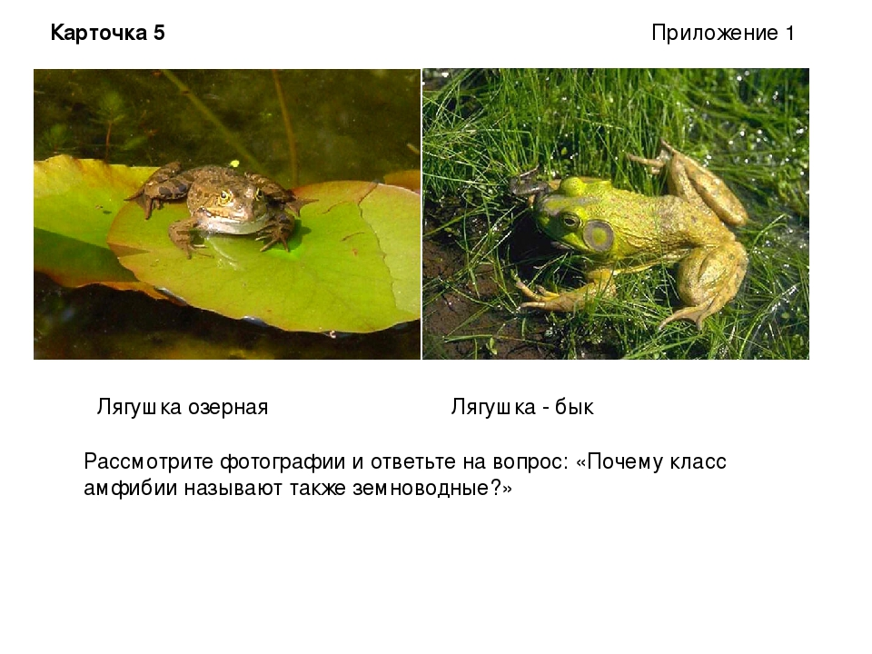 Лягушка озерная Лягушка - бык Рассмотрите фотографии и ответьте на вопрос: «П...