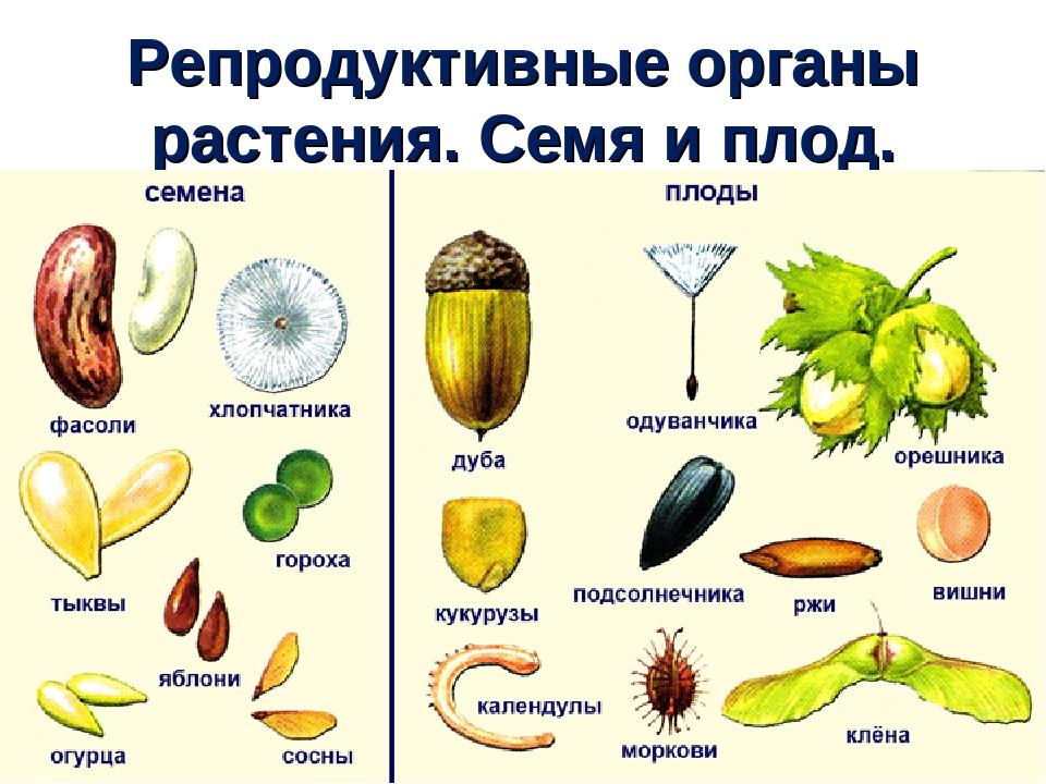 Знакомство с семенами растений