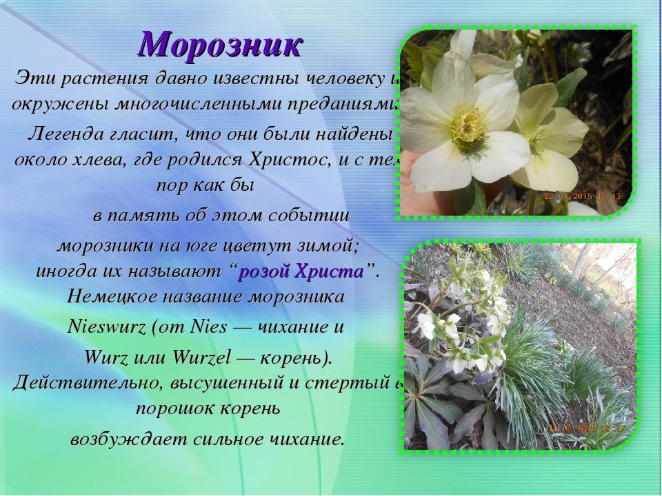 Цветок морозник и описание