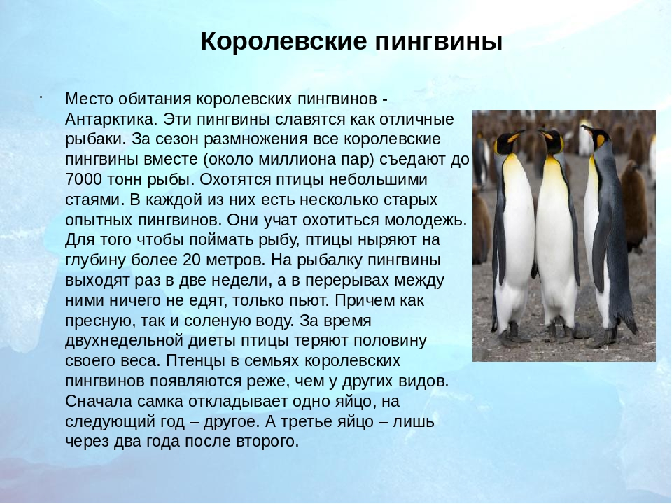 Royal Penguin The Animal Files