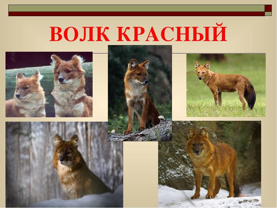 быстро картинки животных красной книги красноярского края оценкам