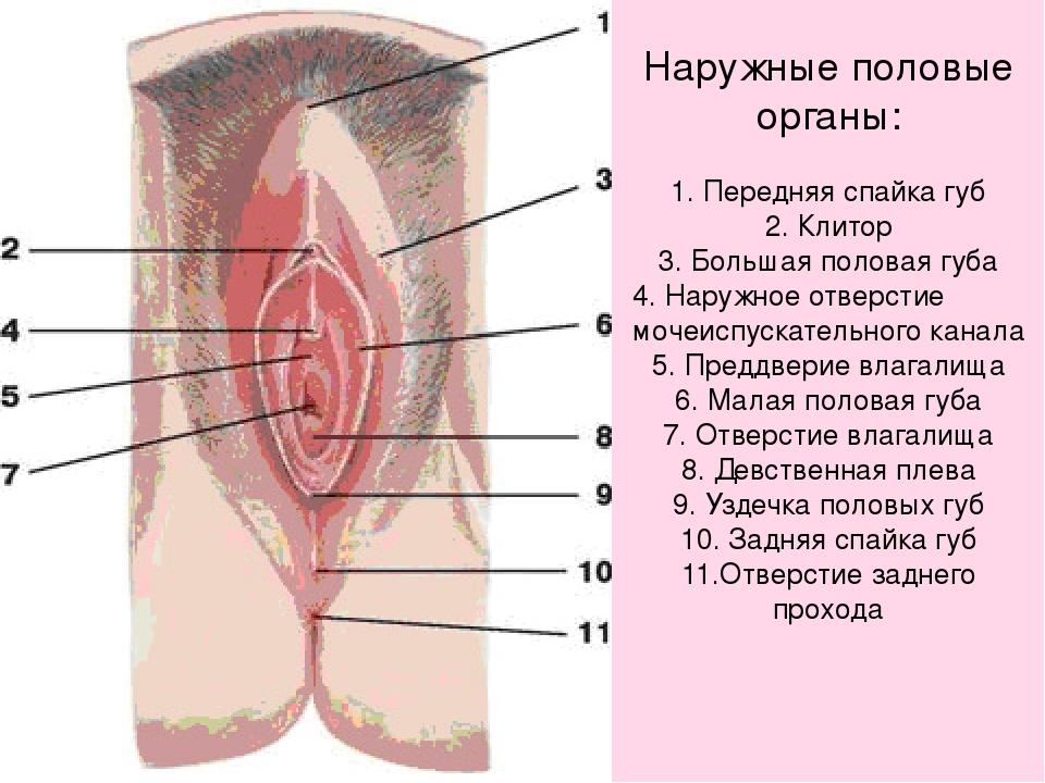 Биология 8 класс половой член