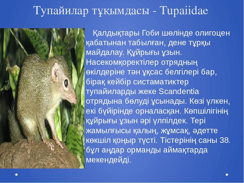 Тупайилар тұқымдасы - Tupaiidae Қалдықтары Гоби шөлінде олигоцен қабатынан та...