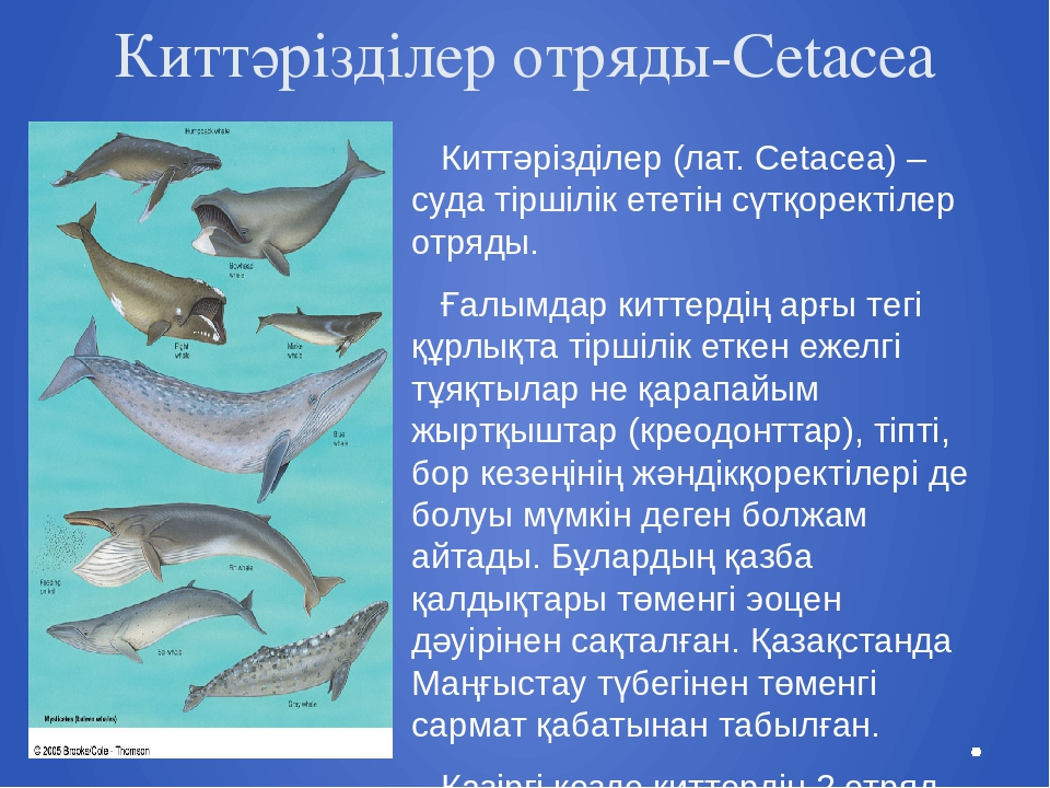 Киттәрізділер отряды-Cetacea Киттәрізділер (лат. Cetacea) – суда тіршілік ете...