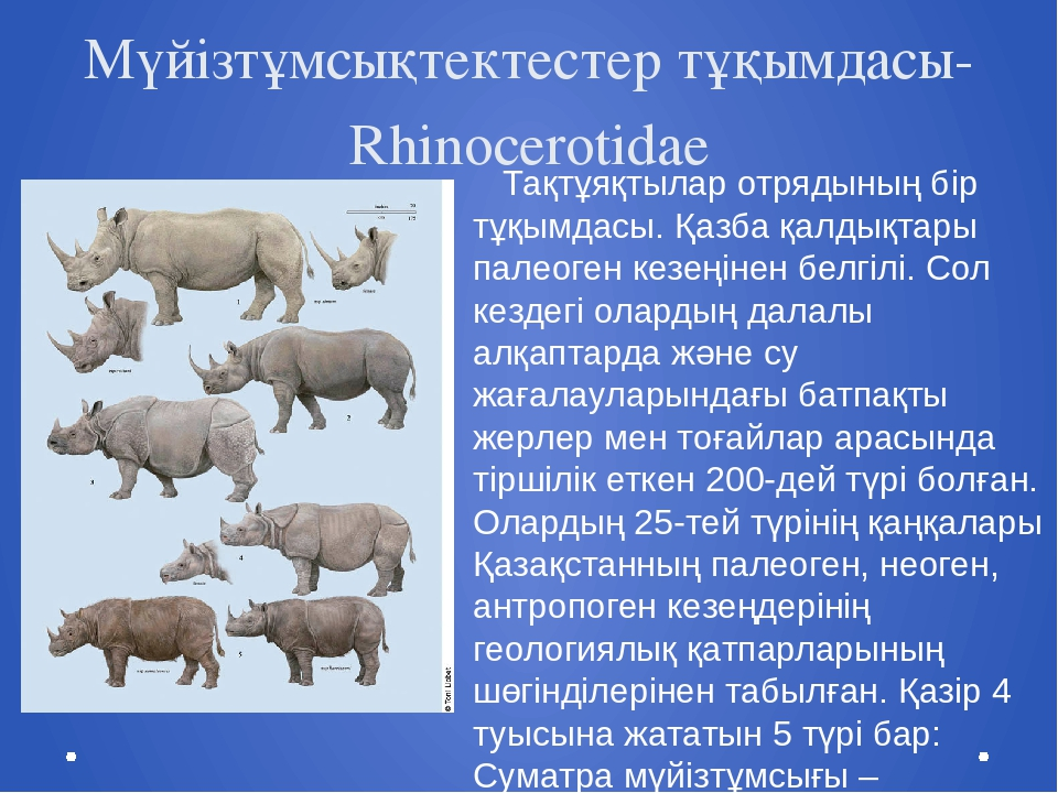 Мүйізтұмсықтектестер тұқымдасы- Rhinocerotidae Тақтұяқтылар отрядының бір тұқ...
