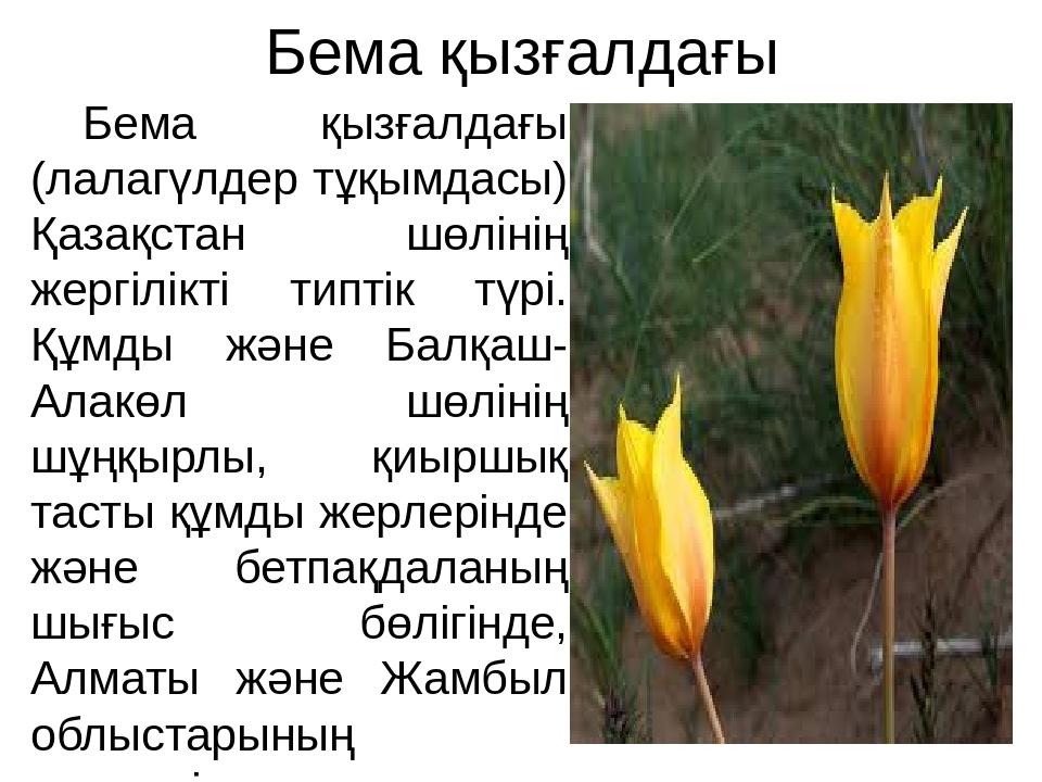 Бема қызғалдағы Бема қызғалдағы (лалагүлдер тұқымдасы) Қазақстан шөлінің жерг...