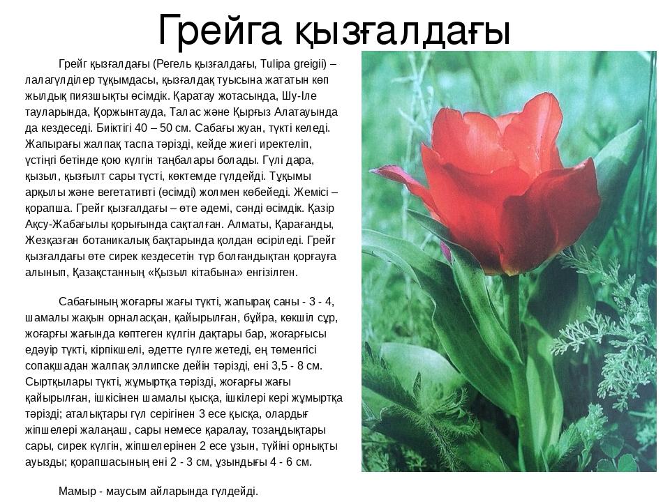 Грейга қызғалдағы Грейг қызғалдағы (Регель қызғалдағы, Tulipa greigii) – лала...