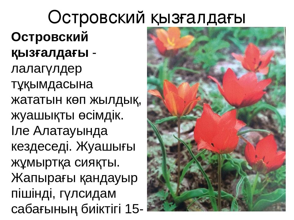 Островский қызғалдағы Островский қызғалдағы - лалагүлдер тұқымдасына жататын...