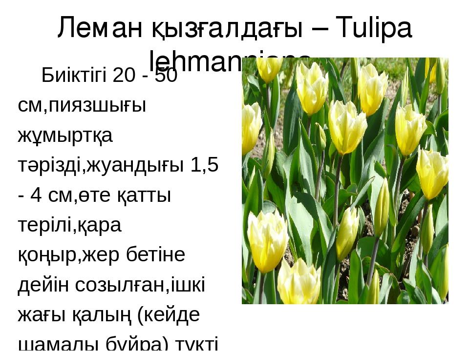 Леман қызғалдағы – Tulipa lehmanniana Биіктігі 20 - 50 см,пиязшығы жұмыртқа т...