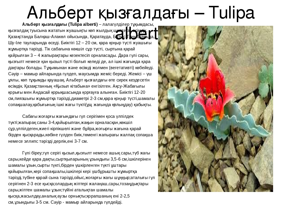 Альберт қызғалдағы – Tulipa alberti Альберт қызғалдағы (Tulіpa albertі) – лал...