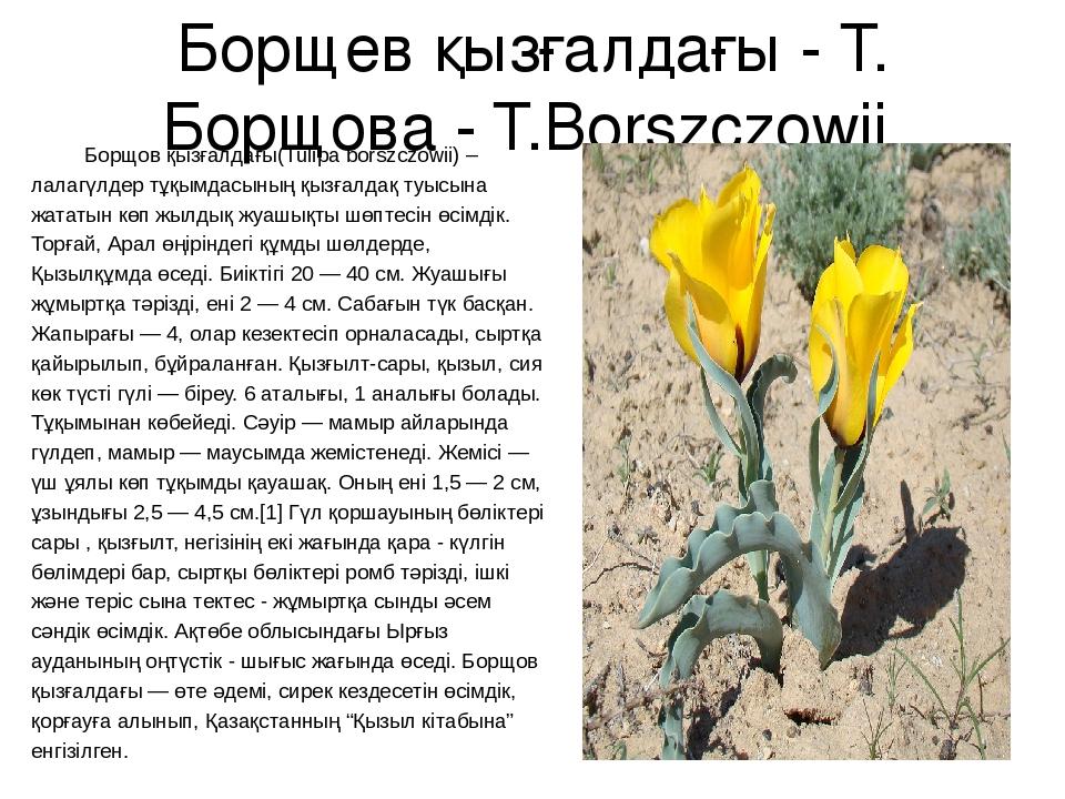 Борщев қызғалдағы - Т. Борщова - T.Borszczowii Борщов қызғалдағы(Tulipa borsz...