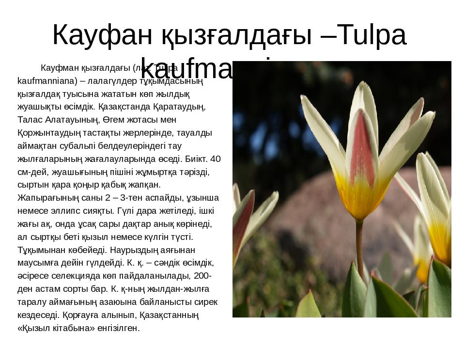 Кауфан қызғалдағы –Tulpa kaufmanniana Кауфман қызғалдағы (лат. Tulipa kaufman...