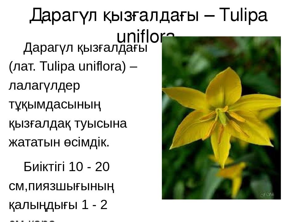 Дарагүл қызғалдағы – Tulipa uniflora Дарагүл қызғалдағы (лат. Tulipa uniflora...